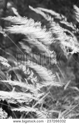 Mountain Wild Grass In A Windy Day