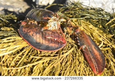 Beautiful Live Atlantic Lobster With Large Claws