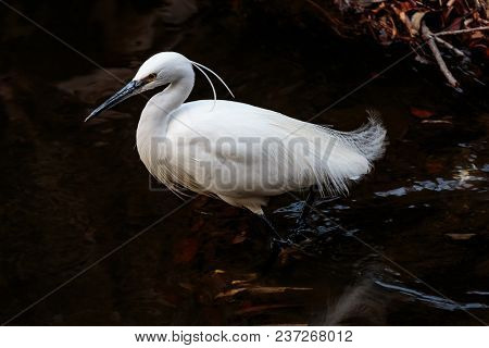 A White Japanese Egret Wades Through A Small River In Yamato, Japan