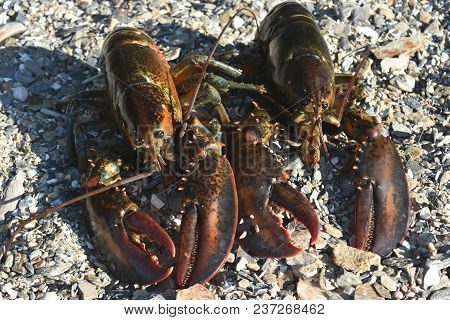 Stunning Photo Of Two Live Atlantic Lobsters