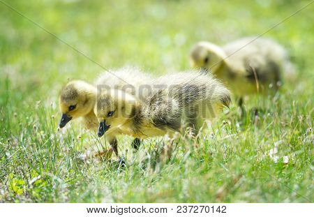 Cute Newborn Canada Geese Goslings Strolling In The Grass