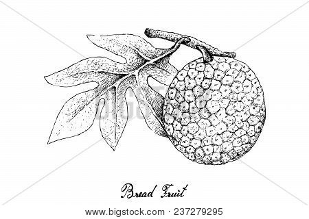 Tropical Fruits, Illustration Hand Drawn Sketch Of Breadfruit Or Artocarpus Altilis Isolated On A Wh