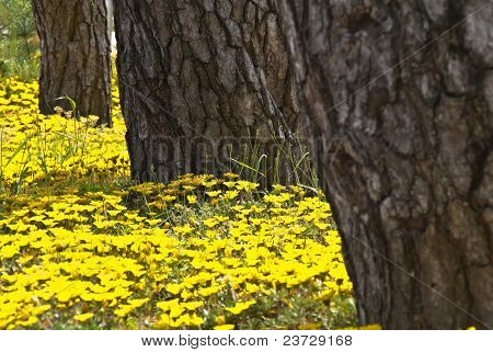 Three Tree Trunks With Yellow Flowers Mid-focus