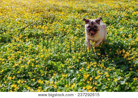 Pug Dog Running To Its Master In Spring Forest. Happy Puppy Having Fun Among Yellow Flowers In The M