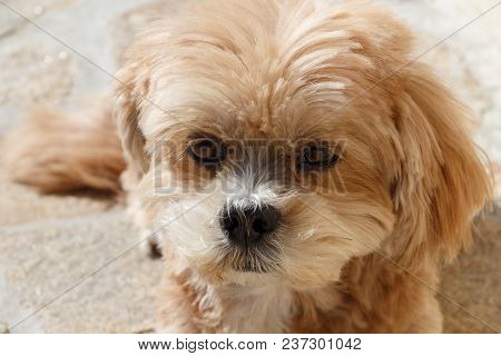 Lhasa Apso Dog Lying On Pavement In A Garden