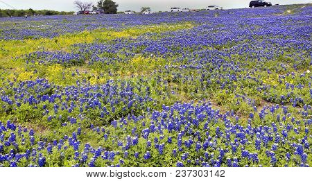 Texas Bluebonnets In The Countyside Of Ennis,texas.