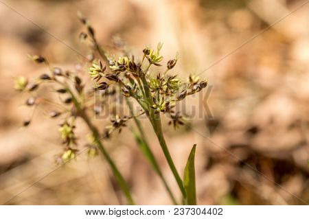 Hairy Wood-rush, Luzula Pilosa, Forest Plant With Small Flowers. Springtime In April. Norway, Europe
