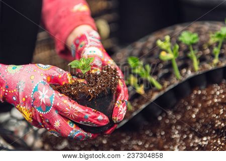 Florist Man Holding Soil In His Hands. A Sprout In The Hands Of A Flower Grower. Preparation Of Plan