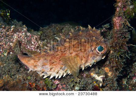 Glaring Porcupinefish