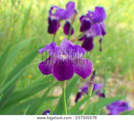 Beautiful Blue-violet Iris Flowers In A Garden, Japanese Irises