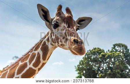 Giraffe at Busuanga island, Palawan, Philippines