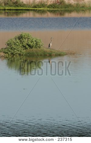 Heron On River