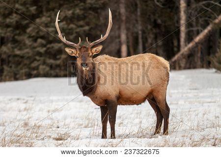 Bull Elk In Banff National Park, Alberta, Canada In Winter