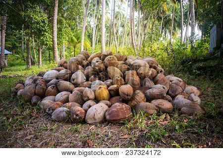 Fallen Coconut Around A Green Palm Tree. A Bunch Of Fallen Coconuts In A Palm Grove. Dry Coconuts In