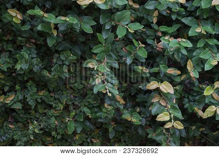 Wall Of Leaves Ivy Texture In Garden,stock Photo