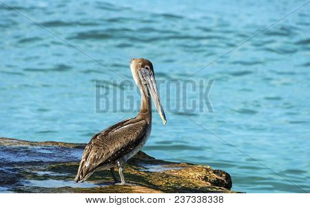 Pelican On The Pier, Against The Background Of The Waves Of The Atlantic Ocean, The Tropics, Cuba