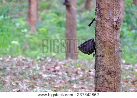 A Black Bowl Hanging On The Rubber Tree Trunk In A Rubber Plantation With Blur Green Garden Nature B