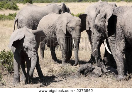 bunch of elephants playing with mud to protect them from heat and sun Elephantidae in the bush of the masai reserve in kenya africa poster