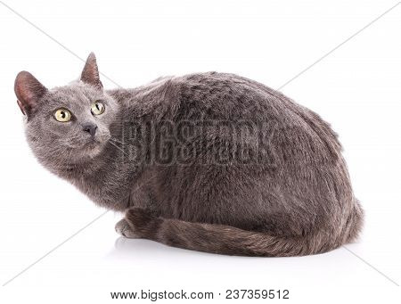 Cat Without Breed. A Simple Gray Cat On A White Background.