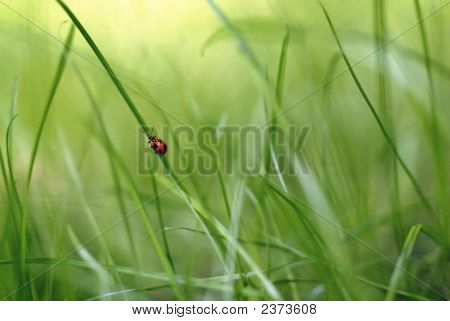 Red Bug On Grass