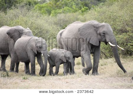bunch of elephants Elephantidae in the bush of the masai reserve in kenya africa poster
