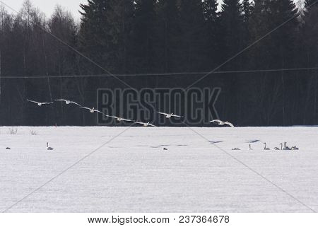 A Group Of Early Whooper Swan In Migration. Just A Few And Long Distance. Ground Covered By Snow. No