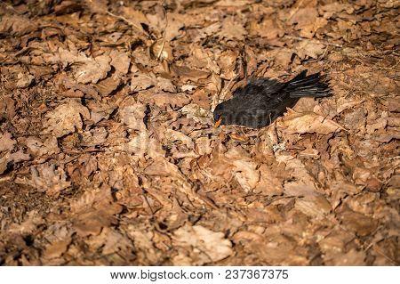 Dead Bird In Dead Oak Leaves. Blackbird, Turdus Merula, Lying In Brown Leaves On The Ground. Copyspa