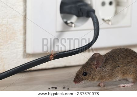 Closeup Mouse Sits Near Chewed Wire  In An Apartment Kitchen On The Background Of The Wall And Elect
