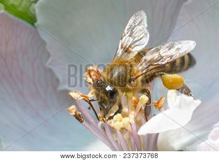 Blossoming apple. Branch of apple tree in bloom in the spring. Bee flies. Close-up.