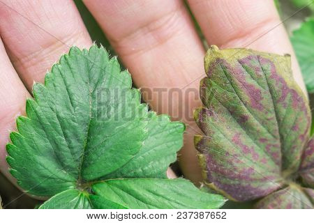 Strawberry Leaves Infected Healthy And Bad Leaves Of The Plant