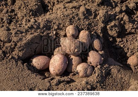 A Pile Of Seed Potatoes In The Soil Outdoors On A Sunny Day