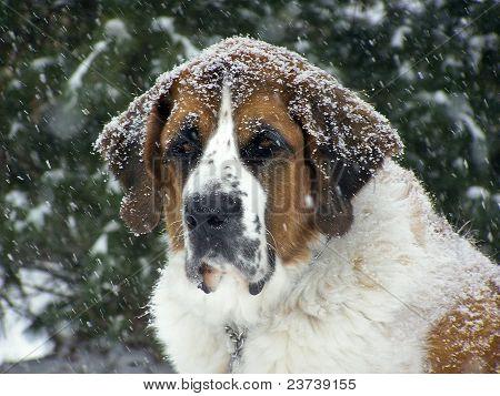 Saint Bernard sitting outside in snow storm poster