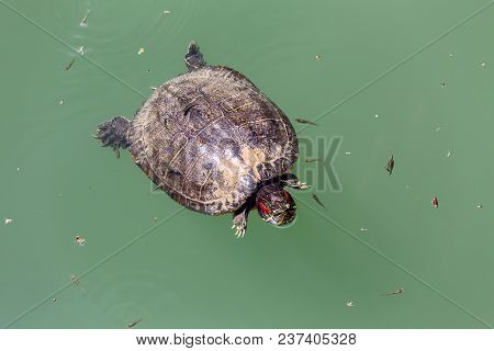 The Turtle (trachemys Scripta) Floating On The Lake Close-up On A Spring Day