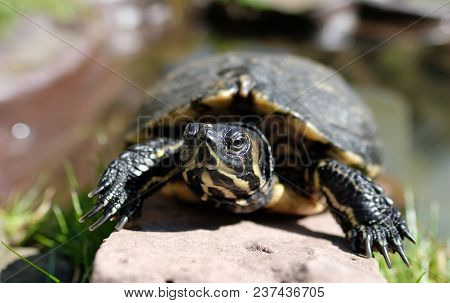 Frontal Portrait Of A Yellow Bellied Turtle