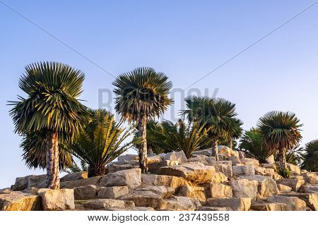 Palm Tree And Cycad Tree Decorated In The Beautiful Rock Garden In The Park With The Evening Sun Set