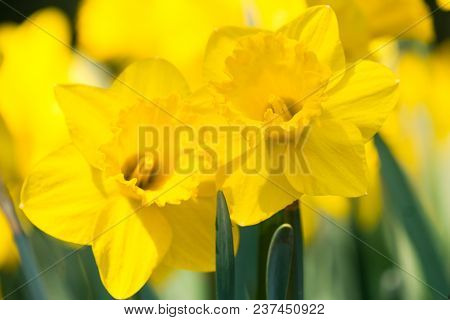 Close-up of a beautiful Yellow Daffodils in the light of the Spring Sun. View to Yellow Daffodil (Narcissus) Flowers on a sunny Day in Spring. Season of flowering Daffodils. Narcissus bloom in the Spring. Close-up of blooming Spring Flowers on a Meadow.