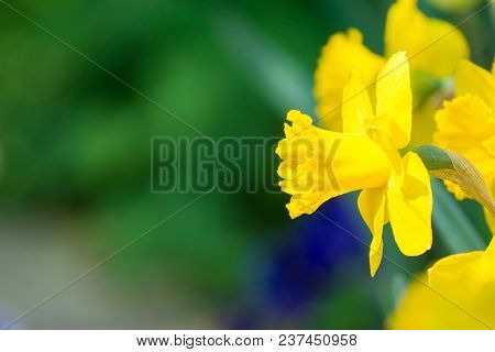 Close-up Of A Beautiful Yellow Daffodils In The Light Of The Spring Sun. View To Yellow Daffodil (na