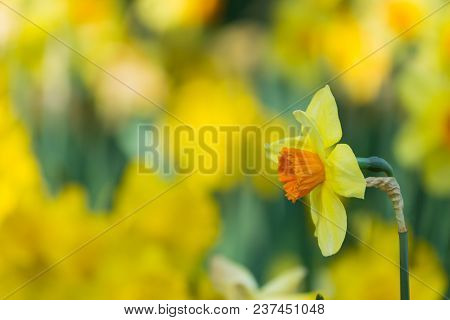Close-up of a beautiful Yellow Daffodils in the light of the Spring Sun. View to Yellow Daffodil (Narcissus) Flowers on a sunny Day in Spring. Side View of a Yellow Daffodil on a Field in Spring. Close-up of blooming Spring Flowers on a Meadow. Little edi