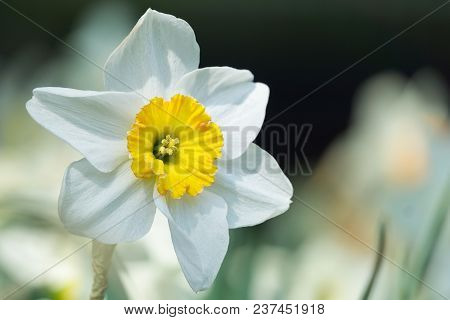 Close-up Of A Beautiful White Daffodil Flower In The Light Of The Spring Sun. View To A White Daffod