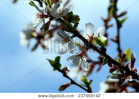 Flowering Of Chinese Cherries. Unusual Fluffy Branches Are Adorned With Delicate Weightless White Pe