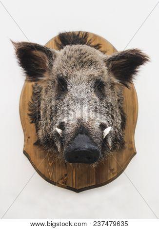 Head Of A Stuffed Wild Boar On A Blackboard