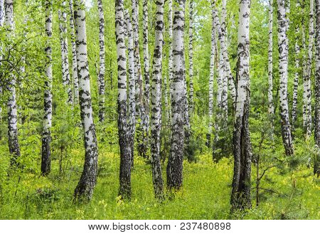 Trunks Of Birches In The Forest In Summer