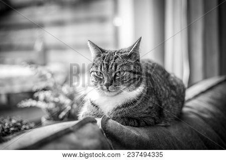 Black White Photo Of Lying Gray Cat On A Leather Sofa In Front Of The Sunny Window