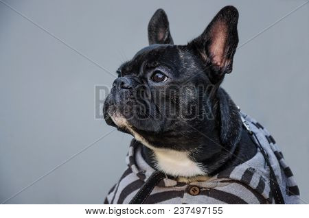 Portrait Of Black Serious, Sad, Tired Puppy Looking. Young French Bulldog. Cute Room Dog, Pet. Backg