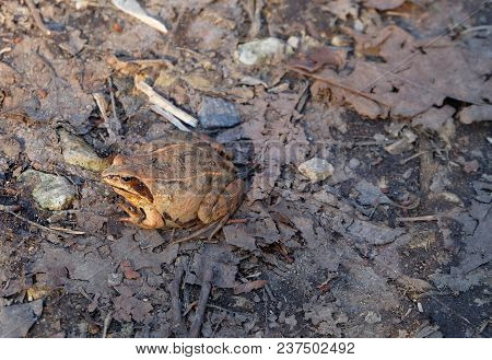 Brown Frog In The Woods In Early Spring. Rana Temporaria Frog Sits On The Stubbly Foliage.