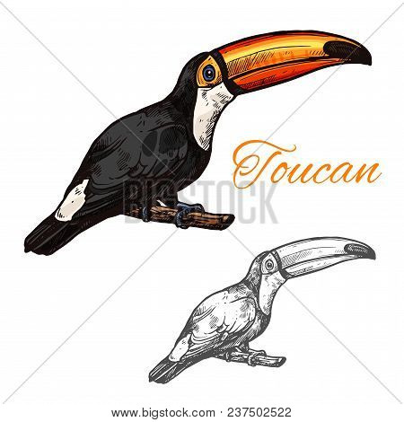 Toucan Exotic Tropical Bird Color Sketch Icon. Vector Isolated Botanical Or Zoology Design Of Toucan