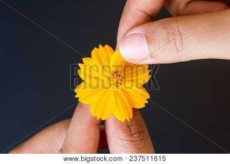 Close Up Woman Hand Tears Off Petals Of Yellow Daisy Flower On Black Background.