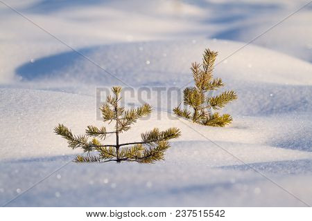 Tiny Two Pines In The Snow Lighted By Morning Sun