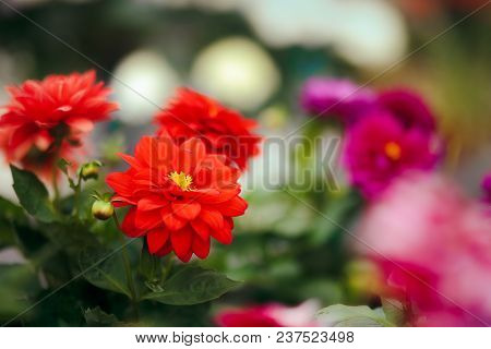 Red Dahlia Flower Detail In Greenhouse Floral Background