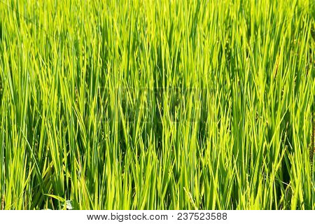 Close Up Rice In The Field.